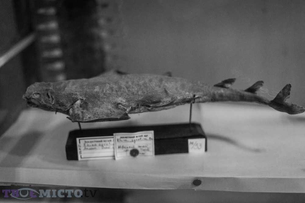Keler Köpek Balığı | Lviv Haber